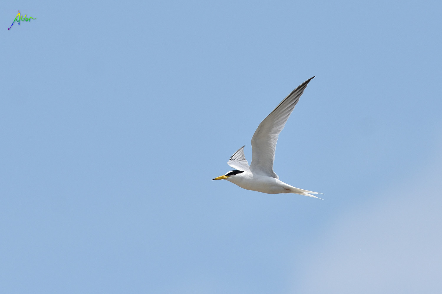 Little_Tern_2462