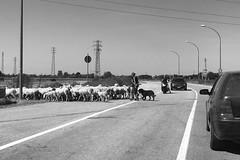 Sheep-Stop