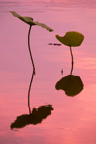 lotus pond water surface sunset tokyo machida japan yakushiike