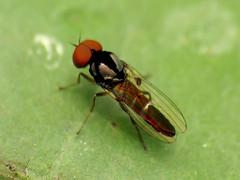 Playpezid Fly
