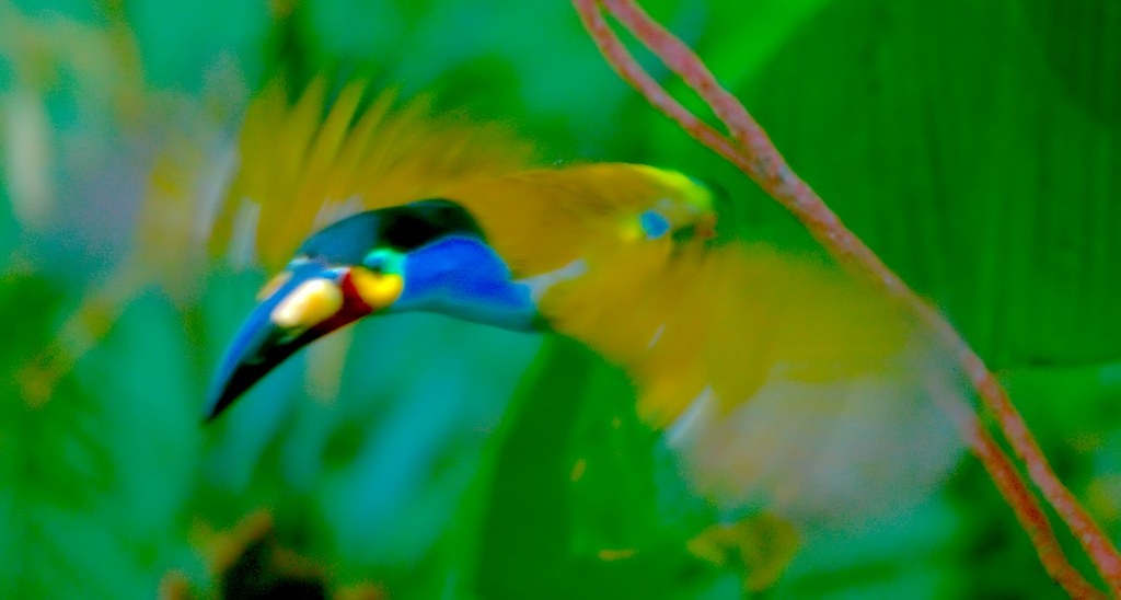 Plate Billed Mountain Toucan_3