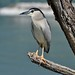 Black-crowned Night Heron (Peter Law)