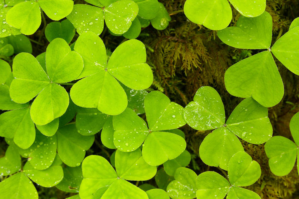 Wood sorrel leaves are wet with rain