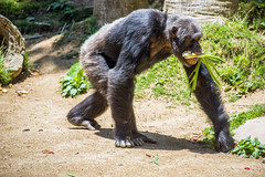 Chimpanzee at the Los Angeles Zoo