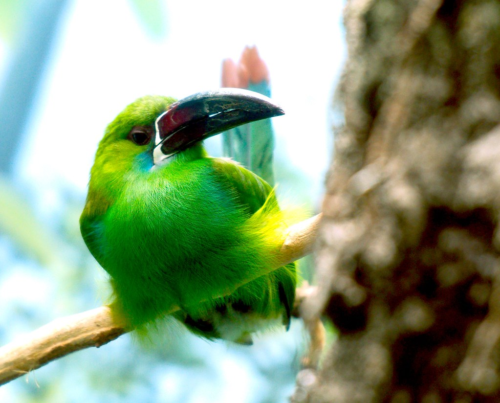 Crimson Rumped Toucanet