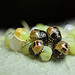 Eggs of the green shieldbug +11days with nymphs by Lord V