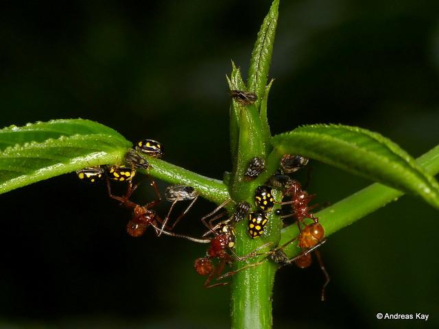 Treehoppers, Stilbophora sp. & tending Ants
