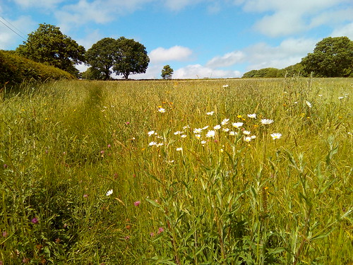 Oaks and Oxeye daisies