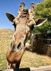 Why the long face, giraffe?