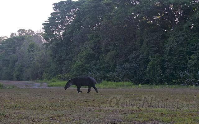 tapir 0002 Corcovado, Osa peninsula, Costa Rica