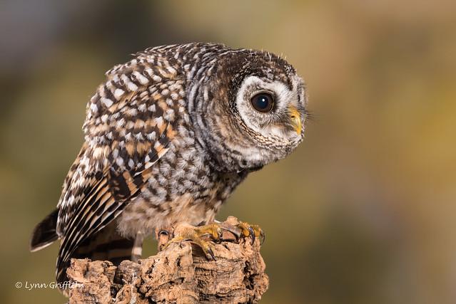 Chaco Owl D75_6000.jpg, Nikon D750, AF-S Nikkor 300mm f/4E PF ED VR