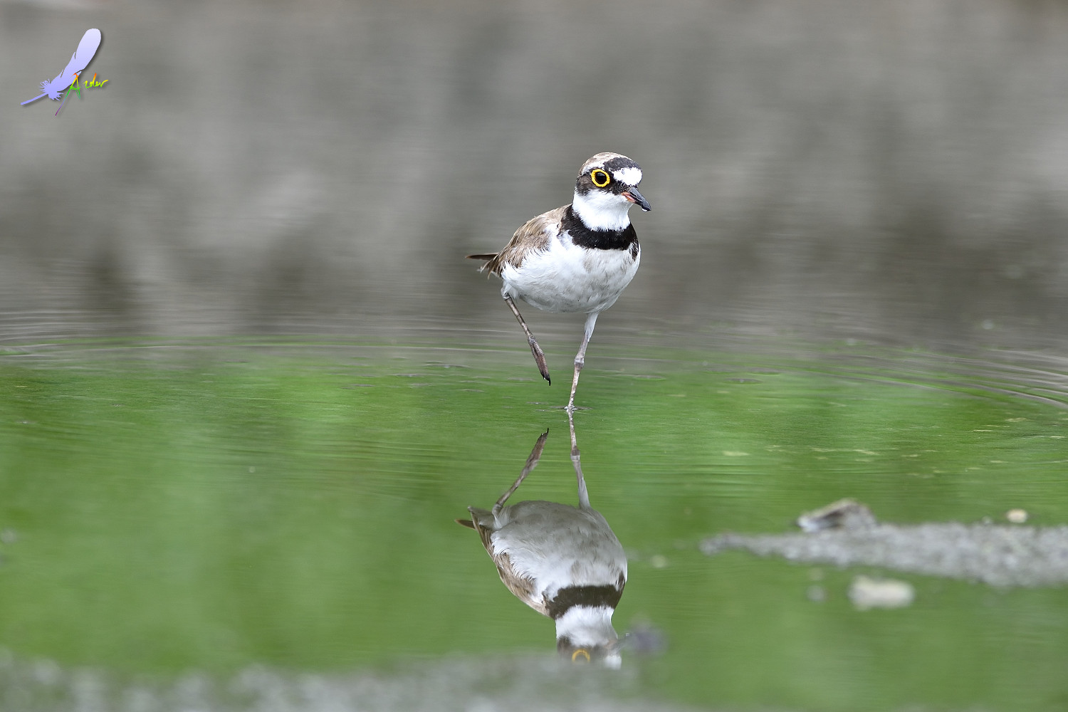Little_Ringed_Plover_4911