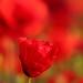 New Poppy flower by Robin M Morrison