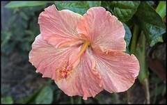 Pinkish Hibiscus-1=