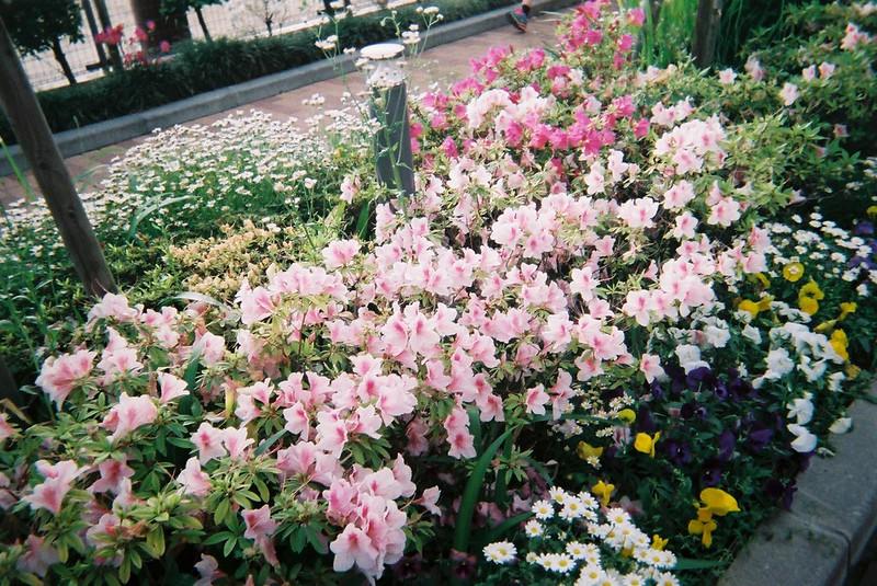 写ルンです西池袋中学校沿いの花壇