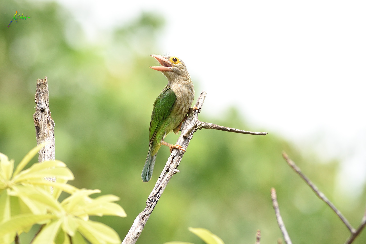 Lineated_Barbet_1543