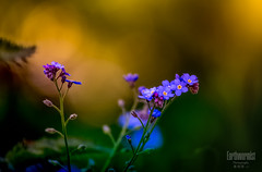 forget -me-not