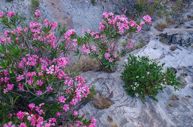 Baladre y mirto en flor