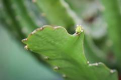 Epiphyllum 'Deutsche Kaiserin'