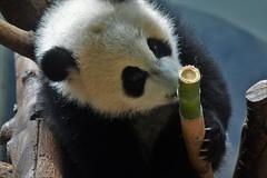 Giant panda ( Ailuropoda melanoleuca)  _DSC0405