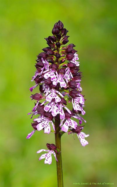 Kents Lady Orchids - Orchis purpurea