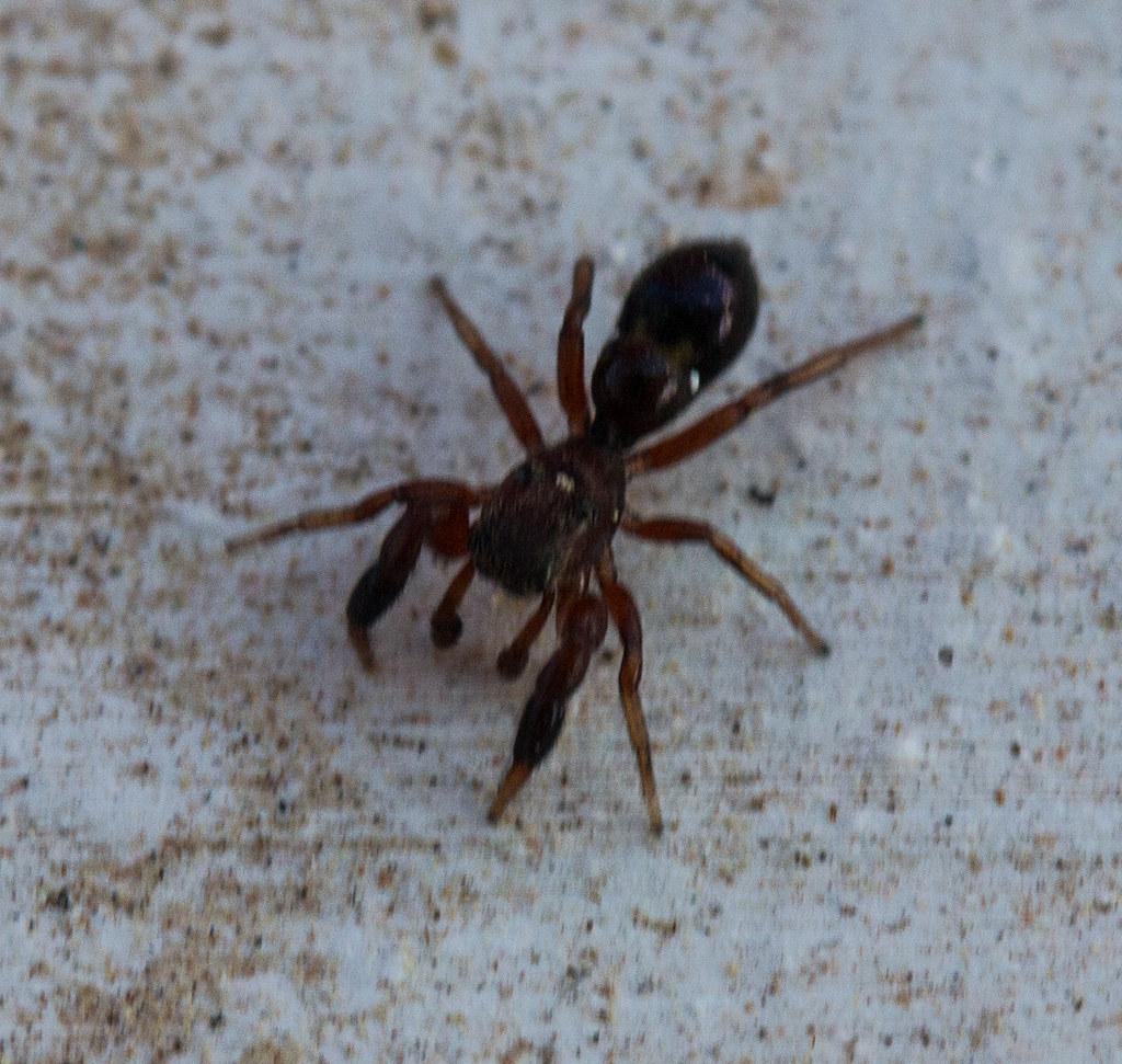 Ant Martina Franca ant sized spider   phillipbonsai   flickr
