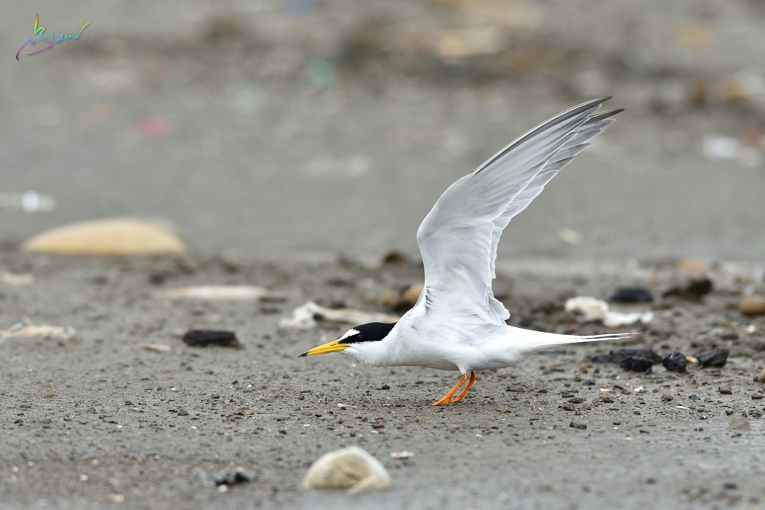 Little_Tern_3513