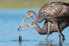 Limpkin Learning