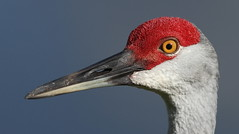 Sandhill Crane- Holiday, Florida