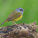 Mourning warbler 2 by Phiddy1