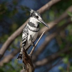 The pied kingfisher (Ceryle rudis) is medium sized, about 25 cm and is the only black & white kingfisher. It feeds mainly on fish, although it will take crustaceans and large aquatic insects such as dragonfly larvae. It usually hunts from perches or by ho