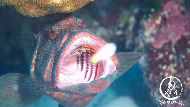 アザハタの歯を掃除中のミカヅキコモンエビ