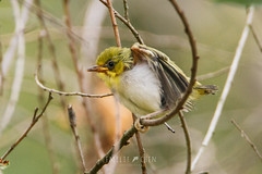 Japanese White-eye (Zosterops japonicus) fledgling