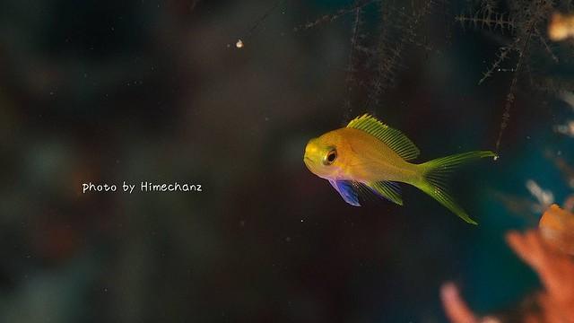 スミレナガハナダイ幼魚ちゃん♪