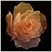 Rose Petal Knot by devo2001