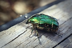 Carl Zeiss Jena DDR Flektogon F2.8/35mm - Macro - Cetonia aurata - 'Green Rose Chafer'