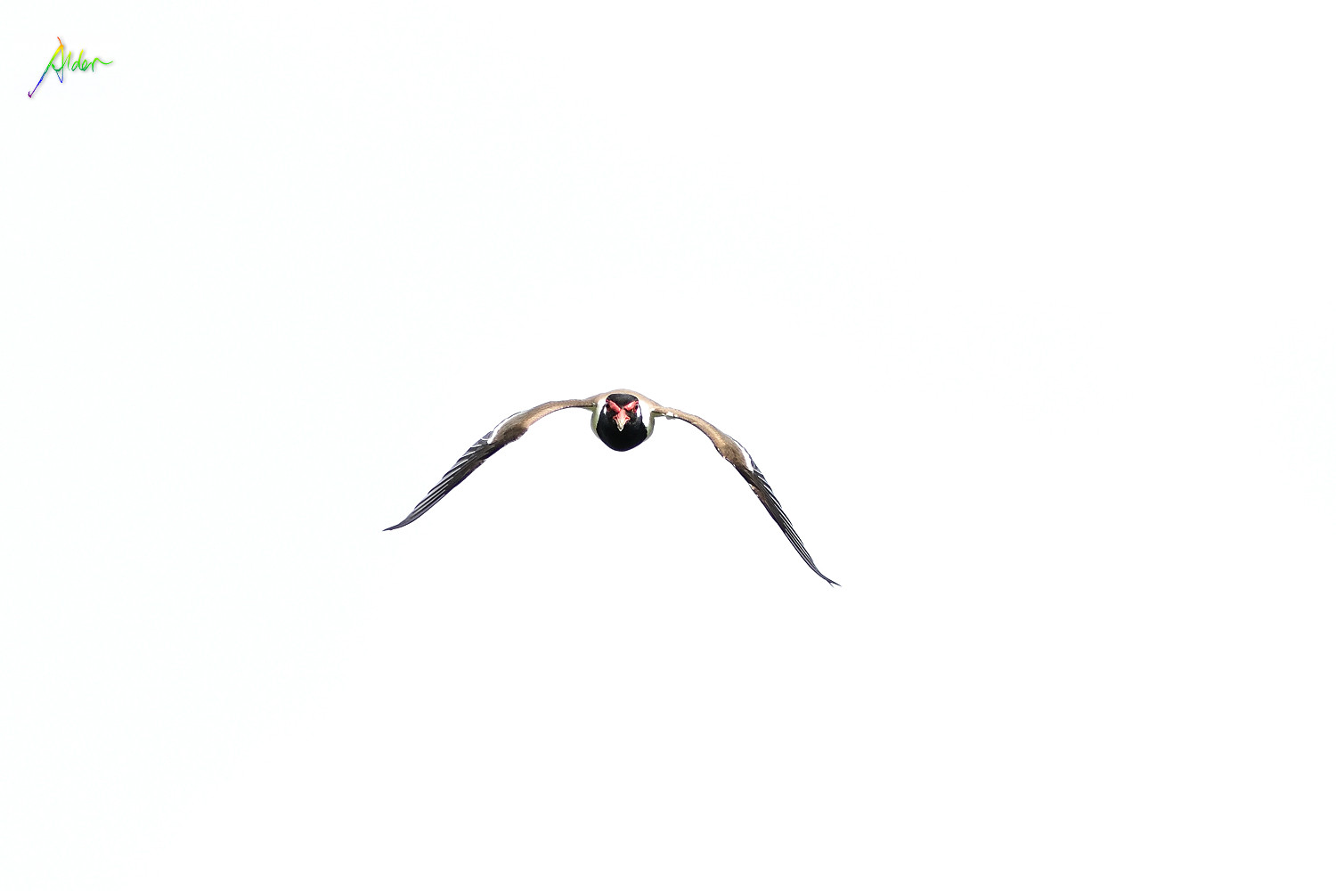 Red-wattled_Lapwing_1702