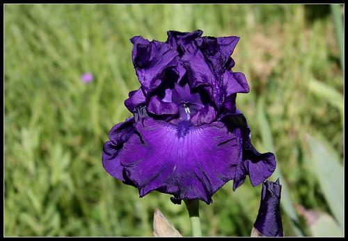 Iris 'Titan's Glory' - Schreiner 1981 34135117703_d5b6066e35