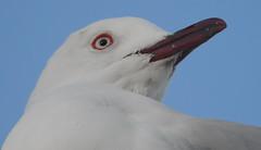 Sea Gull at Scarborough (11)
