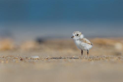 shorebird pipingplover beach ocean charadriusmelodus nature bird plover chick wildlife shore sandyhook northbeach gatewaynationalrecreationarea nikon d800e
