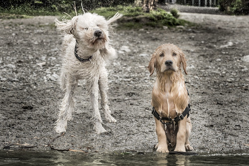 bc buntzenlake canada goldendoodle goldenretriever nora nugget dogs puppy shake swimming exif:focallength=105mm exif:aperture=ƒ80 exif:make=nikoncorporation geocity geostate exif:model=nikond810 exif:lens=7002000mmf28 exif:isospeed=800 geocountry geolocation geo:lon=12285518055555 geo:lat=49340675 camera:model=nikond810 camera:make=nikoncorporation 70200mmf28 1