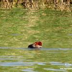 Aves en las lagunas de La Guardia (Toledo) 27/28-5-2017