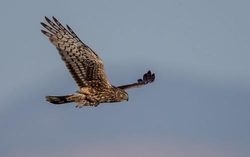 Northern Harrier with prey
