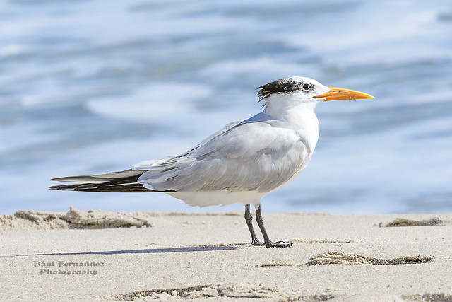 Royal Tern Facing the Sun at Canaveral National Seashore, Florida