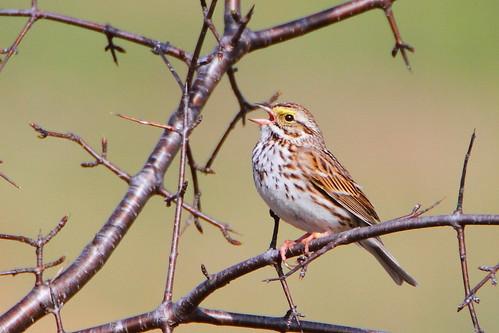 savannah sparrow savannahsparrow
