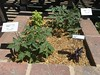 Accessible Garden Tomatoes