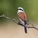 Male Red Backed Shrike - Lanius collurio by rosebudl1959