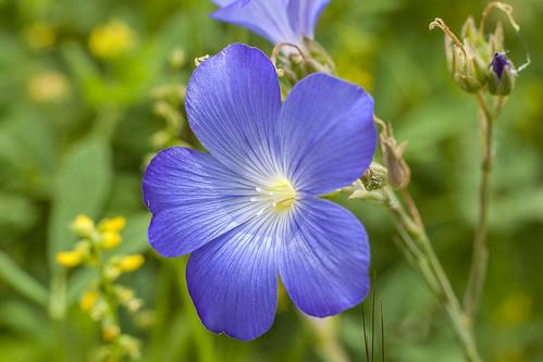Linum narbonense / Lino azul