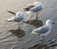 Sea Gulls  at Sandgate (8)