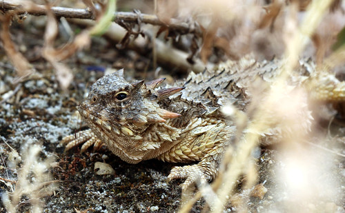 Coast horned lizard found at restoration site | by USFWS Pacific Southwest Region